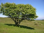 Rowan (Sorbus aucuparia)
